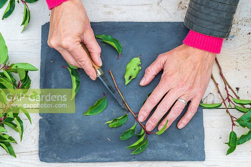 Woman using a sharp knife to remove all leaves apart from the very top.