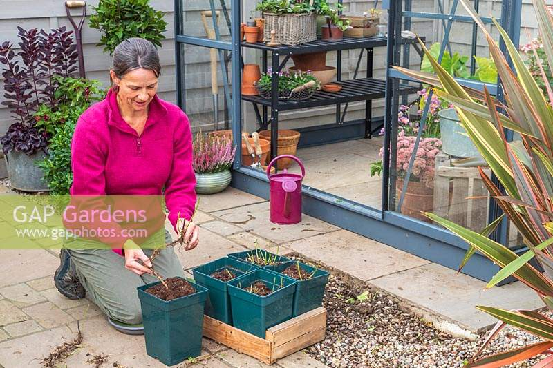 Woman planting a root cutting in a tall green pot to propagate a new fresh plant.