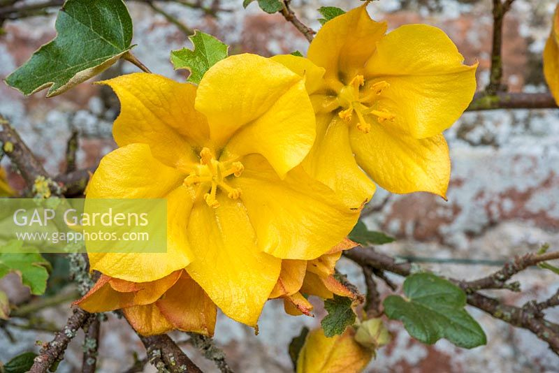 Fremontodendron californicum - California Flannelbush