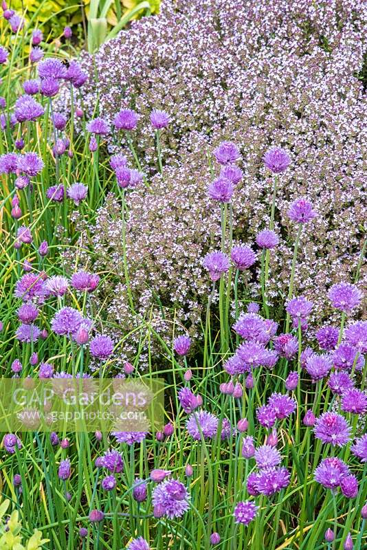 Allium schoenoprasum - Chive and Thymus - Thyme, both flowering in herb garden