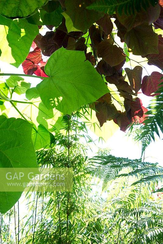 Looking up through leaves in a small urban garden full of exotics. Planting: Phyllostachys bissetii - Green Bamboo, Dicksonia Antarctica, Cercis canadensis and Paulownia tomentosa