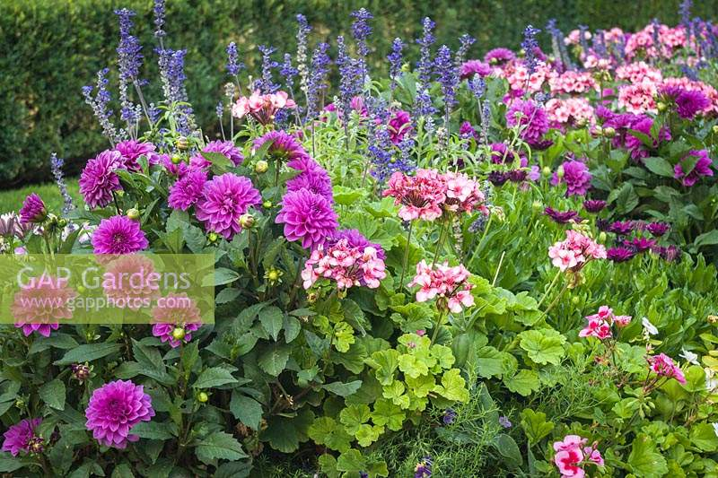 Dahlia cv., Pelargonium x hortorum cv., Salvia cv. - Dahlias, Geraniums, annual Salvia in border with hedge background.