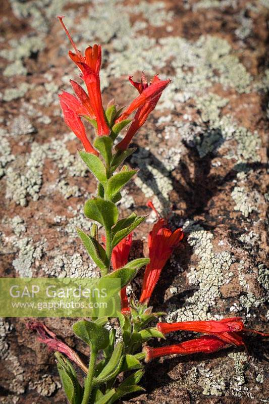 Epilobium canum ssp. garrettii - California Fuchsia blossoms and foliage against lichen-encrusted rock.