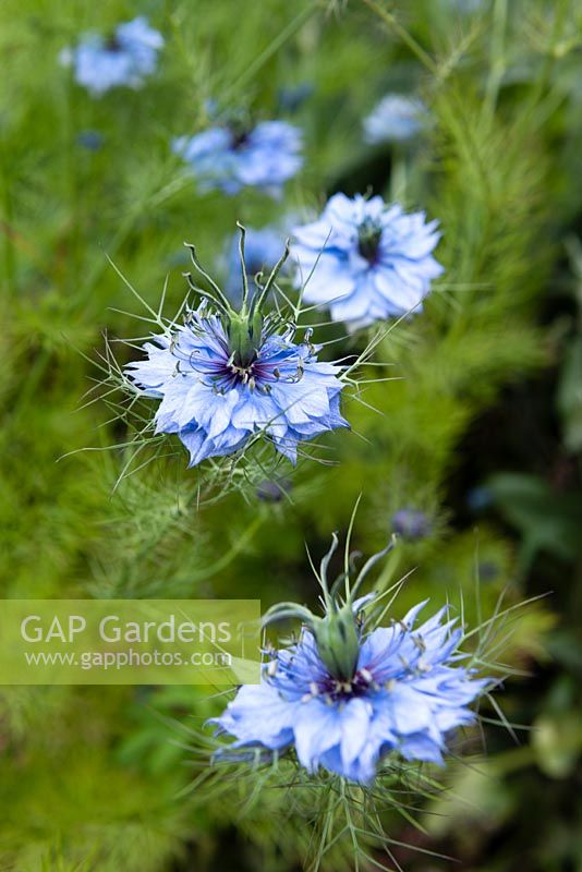 Nigella damascena - Love-in-a-mist