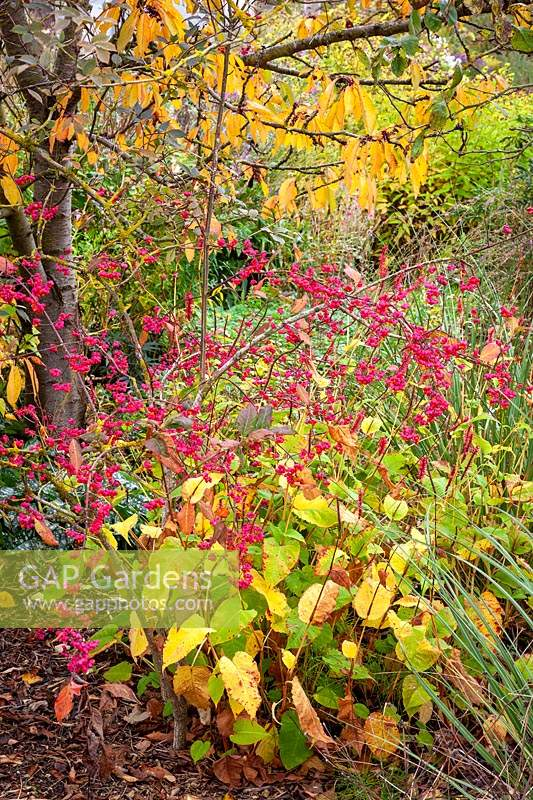 Combination of Persicaria amplexicaulis 'Firetail', Euonymus europaeus 'Red Cascade' AGM -Spindle, Pulmonaria 'Trevi Fountain' and Cortaderia richardii Brown's strain in front of a cherry tree