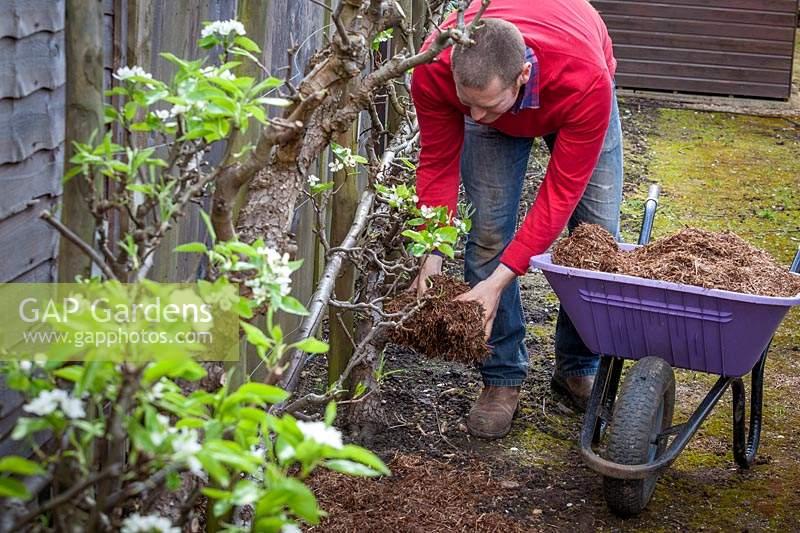 Gap Gardens Mulching Malus Domestica Apple Cordon Fruit