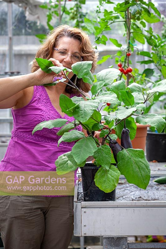 Pinching out the growing tip of an Aubergine plant to keep the plant bushy, encourage side branch formation and promote more fruiting
