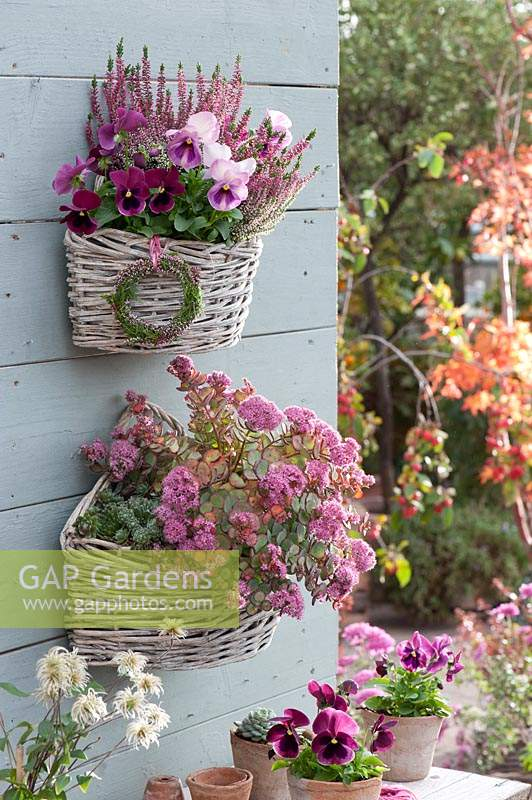 Wall baskets with Sedum spurium 'Dragon's Blood', Viola and Heather