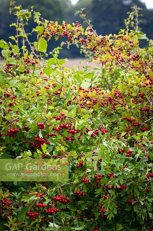 Hawthorn berries in a hedgerow. Crataegus monogyna - Common hawthorn, Maythorn, Motherdie, Quickthorn, Hedgerow thorn.