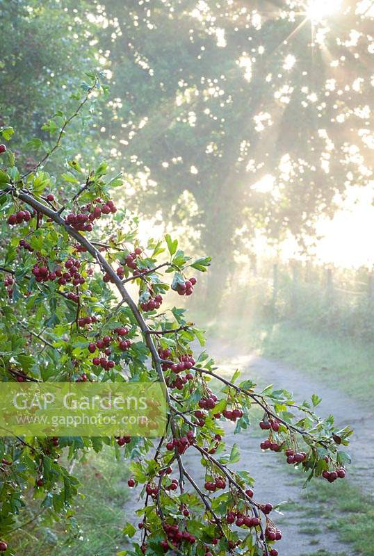 Wild hawthorn berries growing in a hedgerow early on a misty autumn morning. Crataegus monogyna - Common hawthorn, Maythorn, Motherdie, Quickthorn, Hedgerow thorn.