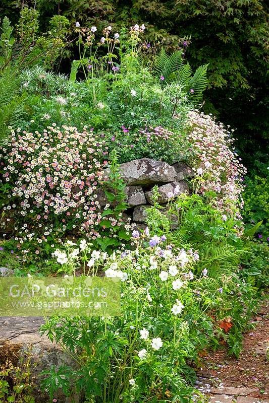 Dry stone wall at Glebe Cottage with eryngiums, geranium and Erigeron karvinskianus - Mexican daisy, Mexican fleabane - growing in a wall.