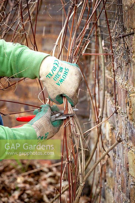 Pruning a late flowering type 3 clematis by cutting hard back close to the ground in winter.