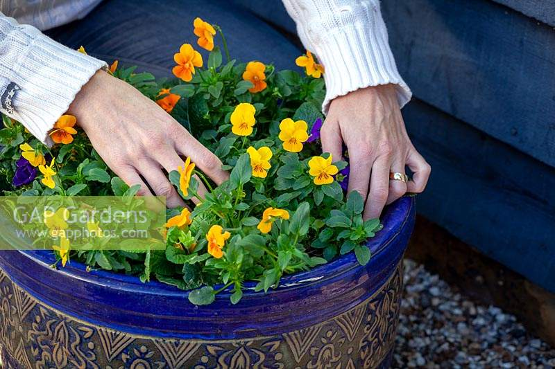 Checking with fingers whether an outdoor pot of violas needs watering during winter.