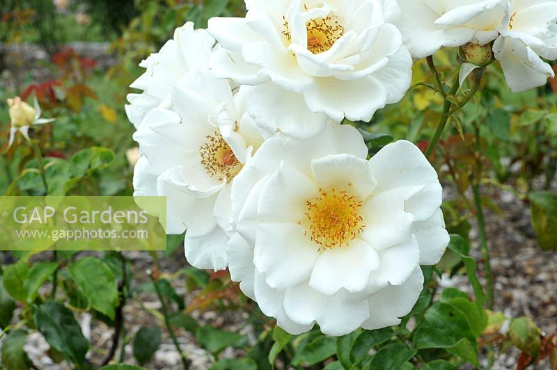 Rosa 'Land Of The Long White Cloud' - Rose 'Land Of The Long White Cloud'