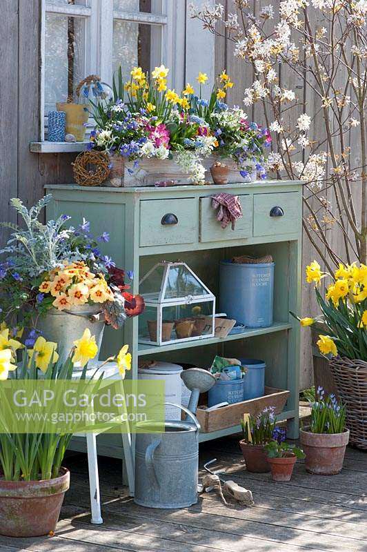 Spring terrace with daffodils, primroses, ray anemones, grape hyacinths and milk star.