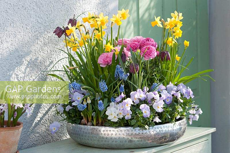 Silver bowl with daffodils, ranunculus, violas, grape hyacinths and fritillaries.