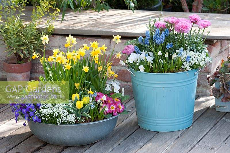 Bowl and metal bucket planted with spring-flowering plants.