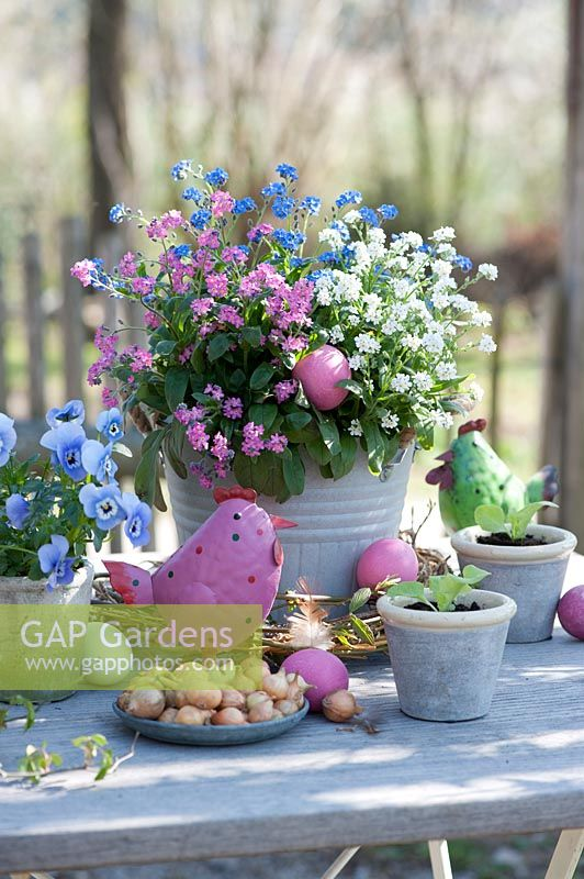 Table set with pot of Myosotis - Forget-me-not - mixed colours: white, pink and blue. Plus coloured eggs and decorative chicken by dish of Allium - Onion - sets