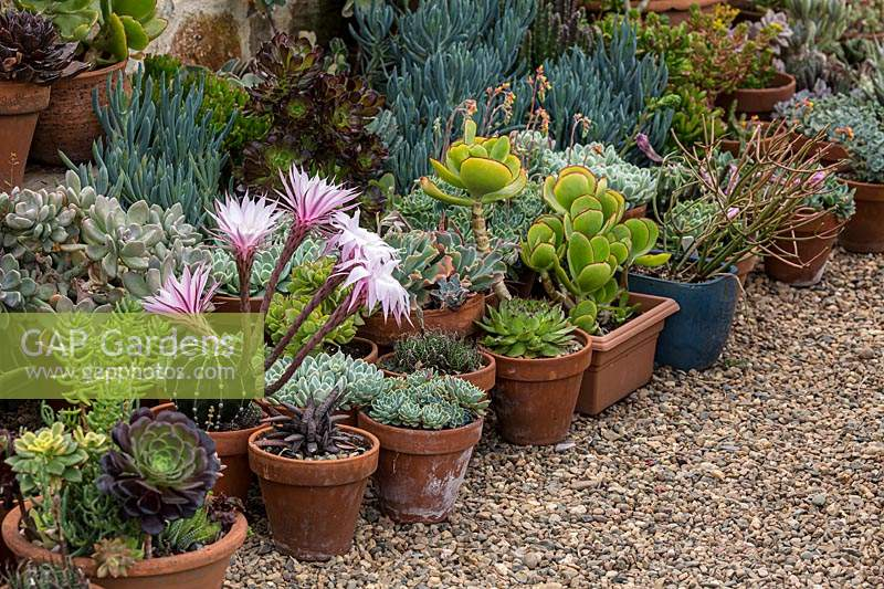 A colourful display of potted cacti and succulents sitting on gravel mulch