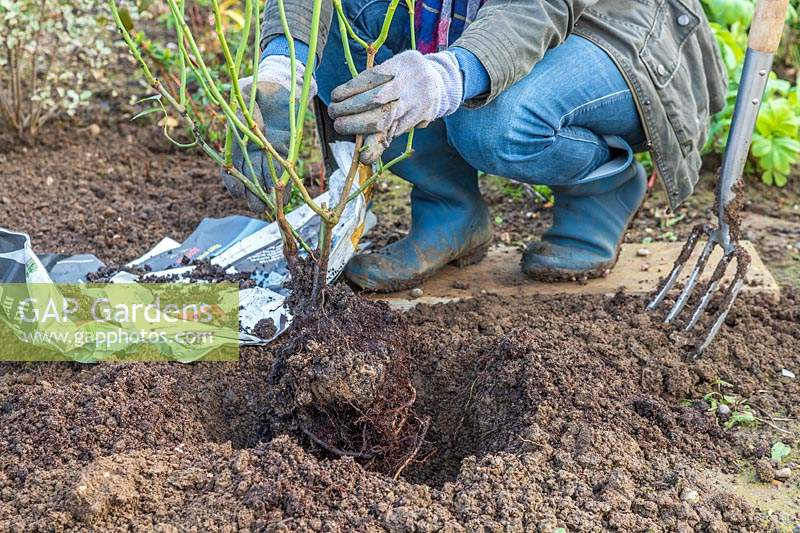 Woman placing newly moved rose shrubs in prepared planted hole