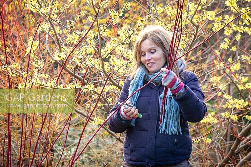 Taking hardwood cuttings from Cornus sanguinea - dogwood - in January. Gathering suitable material