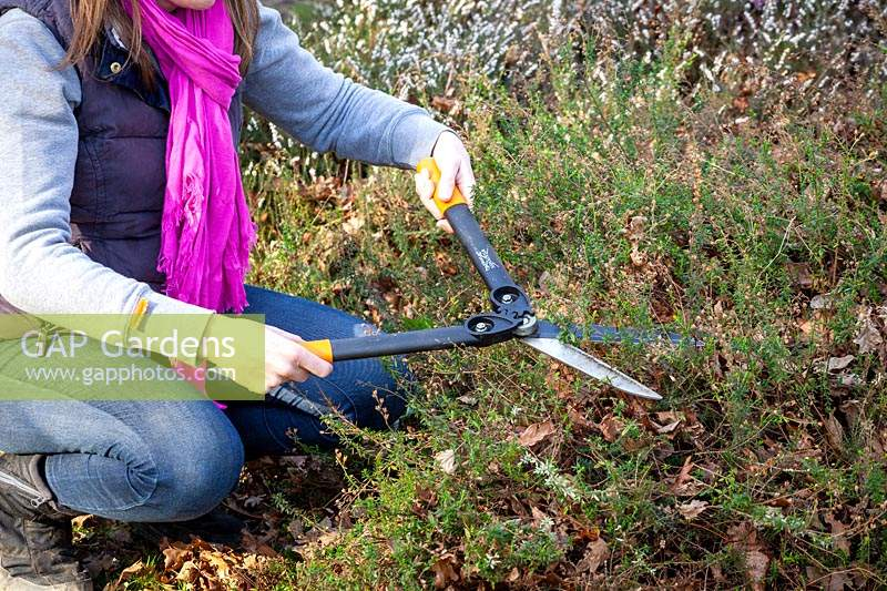 Trimming back summer flowering heathers with hand shears in spring.