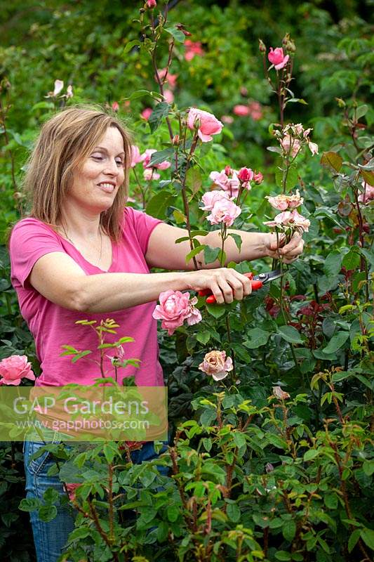 Deadheading Rosa - Rose - bushes to ensure longer flowering season
