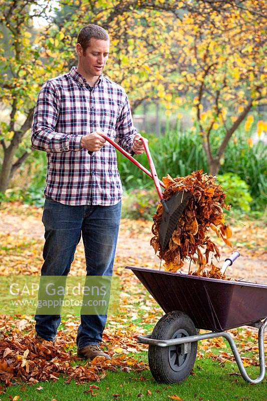Collecting fallen leaves from a lawn using a plastic hand grabber and putting them in a wheelbarrow