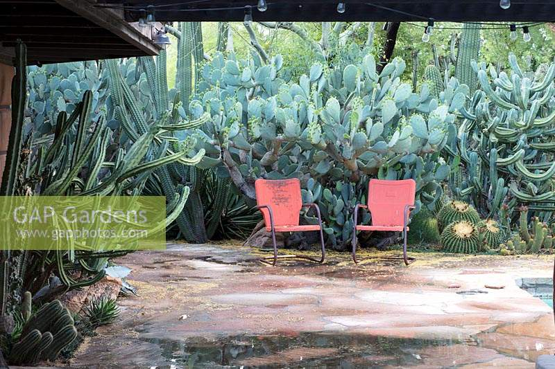 View across crazy-paved terrace to a pair of vintage patio chairs in desert cactus garden with Opuntia