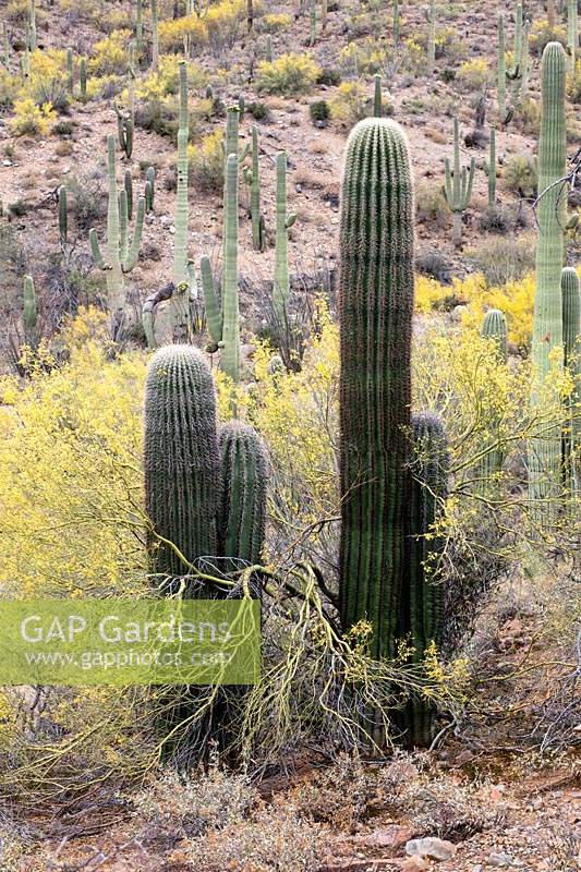 Desert upland with young Carnegiea gigantea  - Saguaro Cactus - emerging from the protective shade of Cercidium microphyllum  - Foothills Palo Verde Tree