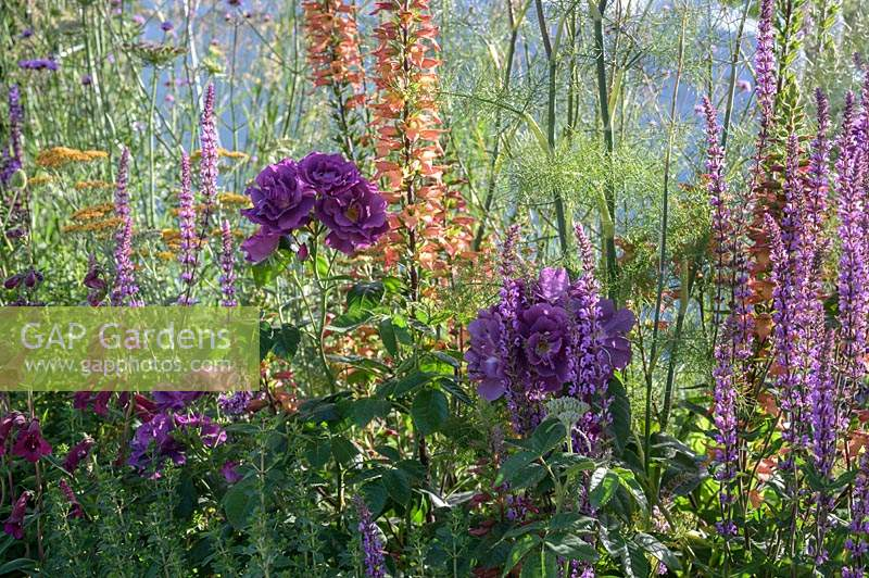 Planting with Salvia nemorosa 'Amethyst',  Digitalis Illumination Series and Rosa 'Rhapsody in Blue'. The Cancer Research UK Pledge Pathway to Progress. RHS Hampton Court Palace Garden Festival, 2019.