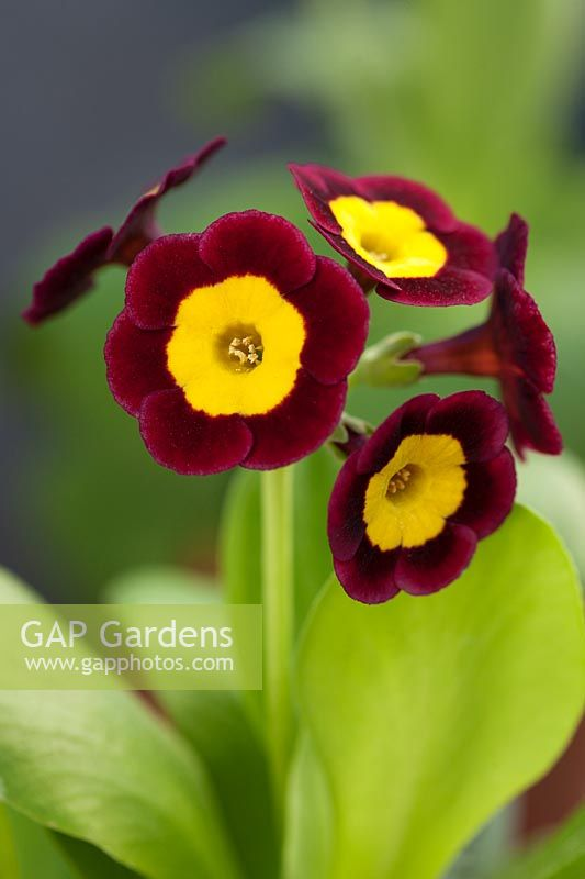 Primula auricula 'That's it'