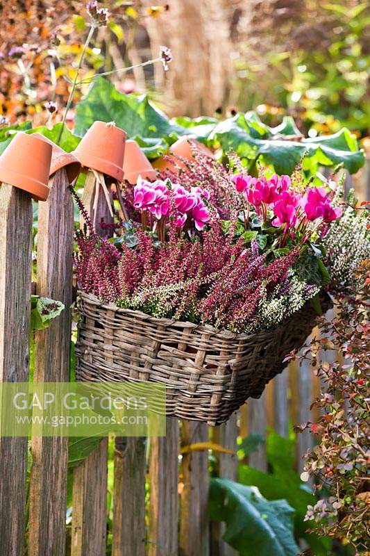 Hanging basket planted with Cyclamen persicum and Calluna vulgaris.