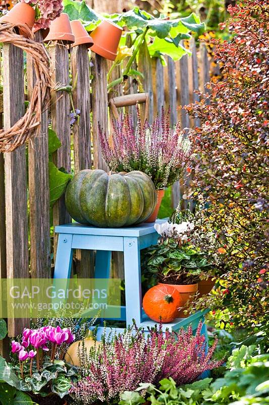 Autumn floral display with Cyclamen persicum, Calluna vulgaris and pumpkins.