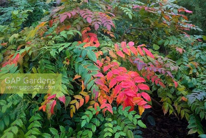 Mahonia japonica will often colour attractively in winter
