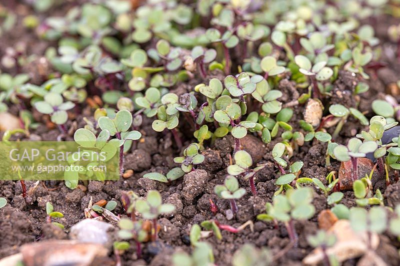 Green manure Autumn mix seedlings early October