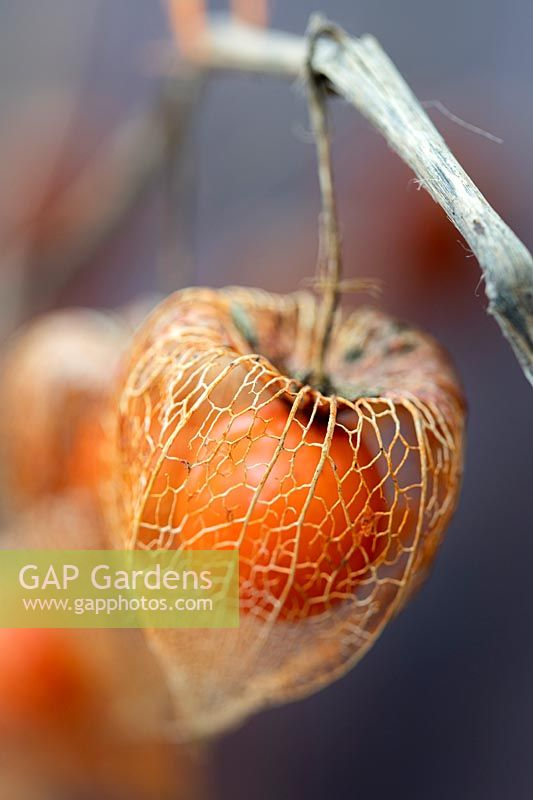 Physalis skeleton - Chinese lanterns in Autumn showing a thin skeletal casing around the ripe orange berry