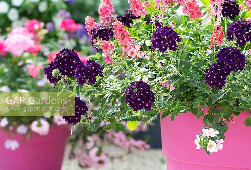 Verbena Lanai 'Deep Purple' and Angelonia archangel flowers in a pink flower pot.