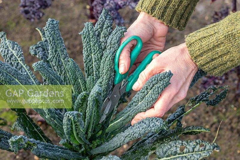 Woman harvesting Kale 'Nero di Toscana' leaves using scissors