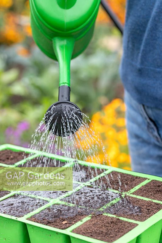 Watering modular seed tray of newly sown seeds with a watering can fitted with a rose
