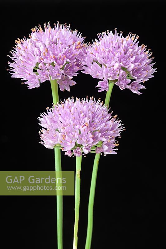 Allium senescens ssp. montanum var.glaucum - flowerheads against black background
