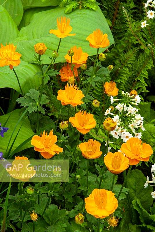 Trollius 'Dancing Flame' with Ferns and Hostas - RHS Chelsea Flower Show