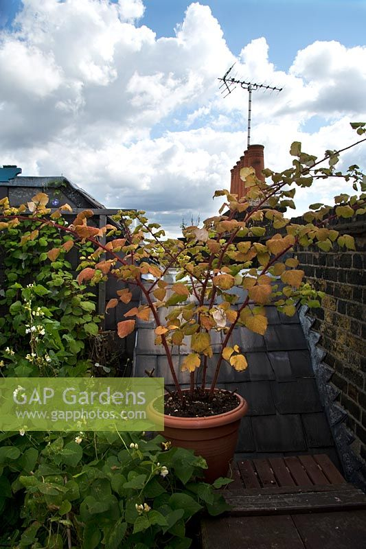 Rubus phoenicolasius - ineberry growing in a large pot on London roof terrace
