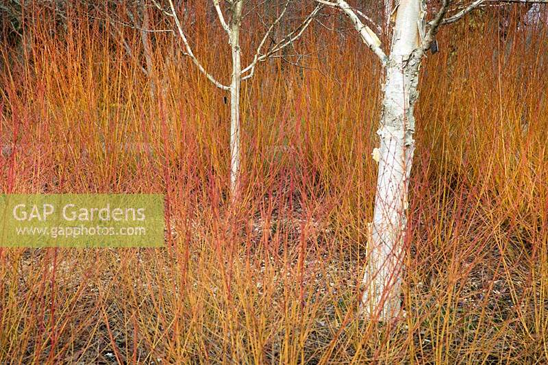 Cornus sanguinea 'Winter Beauty', Salix var. vitellina Yelverton' and Betula utilis var. Jacquemontii 'Silver Shadow' in the winter garden at the Hillier Gardens, Hampshire, UK.