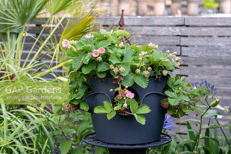 Strawberry 'Just Add Cream', grown in Lechuza self-watering pots.