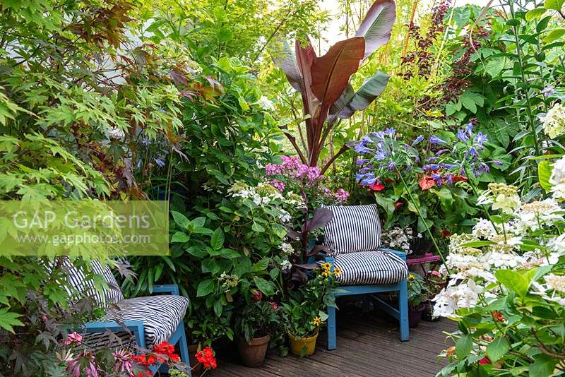 Chairs on a deck are surrounded by Anthurium, Hydrangeas, Agapanthus, Phlox, Ferns, Geraniums, Coneflowers and foliage of Bananas, Bamboos and Tetrapanax papyrifer.