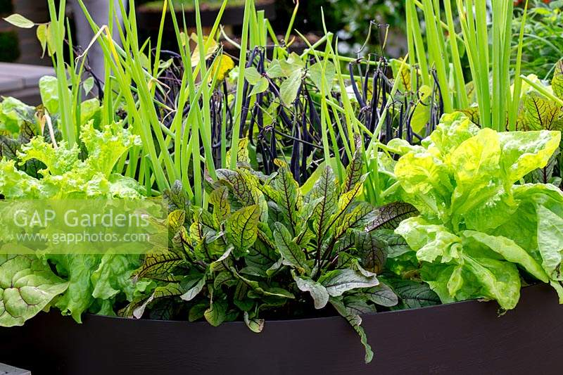 Mixed salad leaves in contemporary metal container with dwarf French bean Mystic