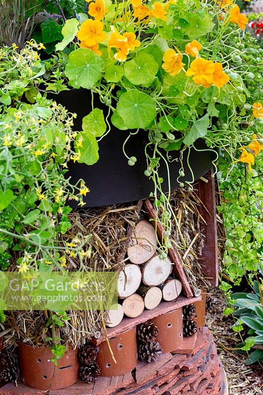 Recycled roof tiles re-used to form bug hotel with Nasturtium 'golden jewel' growing on roof