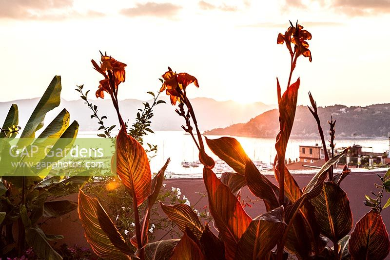 Canna indica 'Tropicana' on terrace with view of Lerici harbour