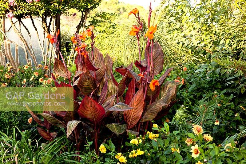 Canna indica in a bed with Dahlia
